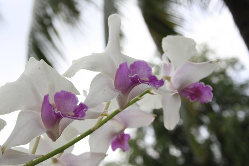 Orchids on the Mekong